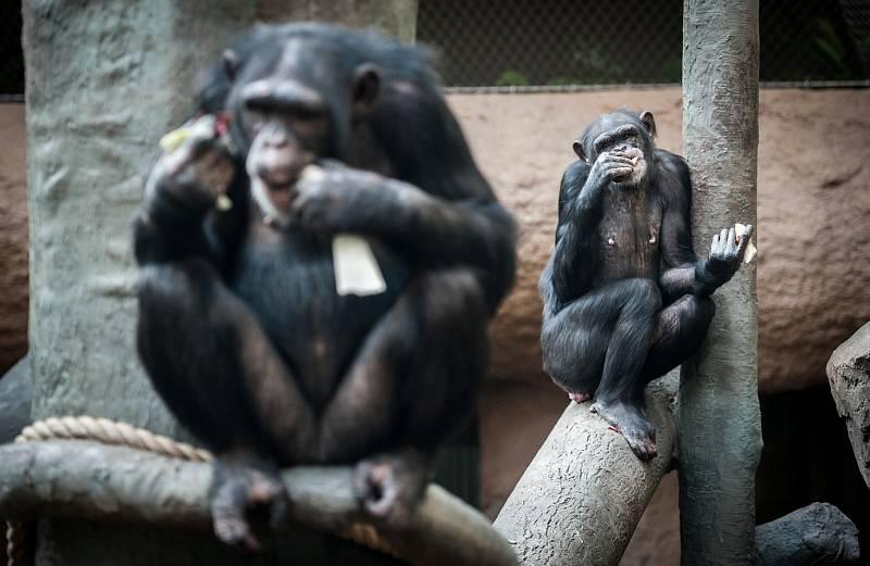 Šimpanzí samičky, které byly do ostravské zoologické zahrady přivezeny ze Zoo Lipsko.