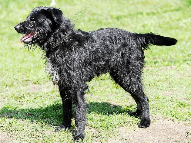 Arnošt – čtyřiapůl roku starý pes, kříženec středního knírače černé barvy.