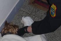 Zraněný pes skončil u dveří bytu. Foto: MP Ostrava