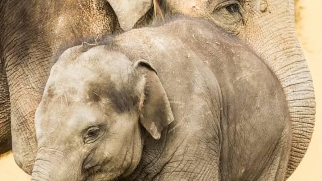 Sloni indičtí v Zoo Ostrava