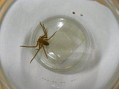 Muž nakonec pavouka lapil do zavařovací sklenice.
