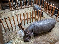 Hroši v ostravské zoo ve středu 9. listopadu 2016.
