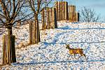 Naučnou stezku Obora Sovinec vytvořili členové Mysliveckého sdružení Fryčovice. Jejich obora se specializuje na chov vzácné zvěře, jelence viržinského (běloocasého). Fryčovice, 10. ledna 2021.