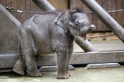 Malá sloní samička z ostravské zoo vypadá zdravě a o dění v pavilonu se živě zajímá.