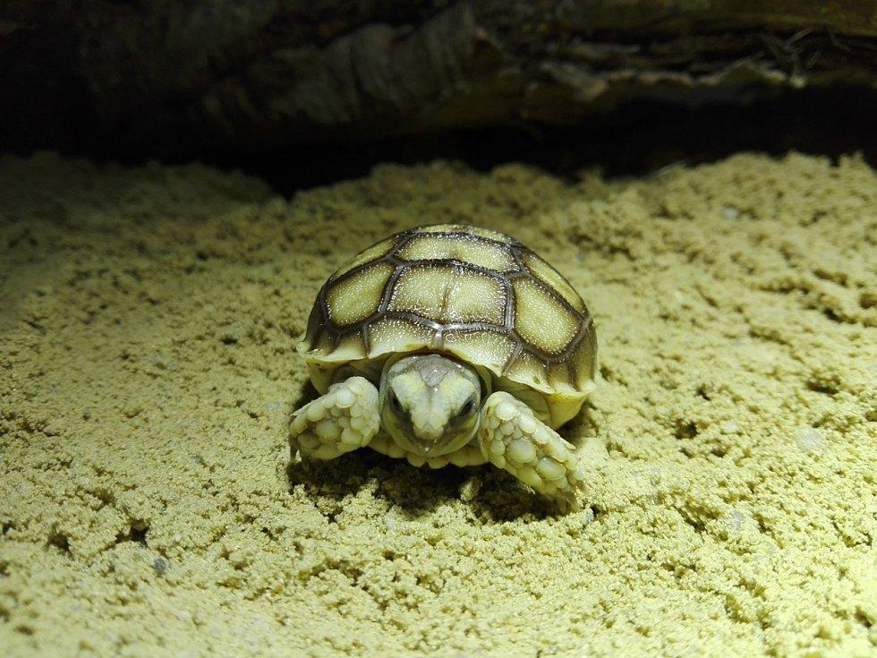 Mládě želvy ostruhaté