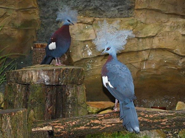 Korunáč Sclaterův, pestrobarevný největší holub světa svýraznou korunkou na hlavě.