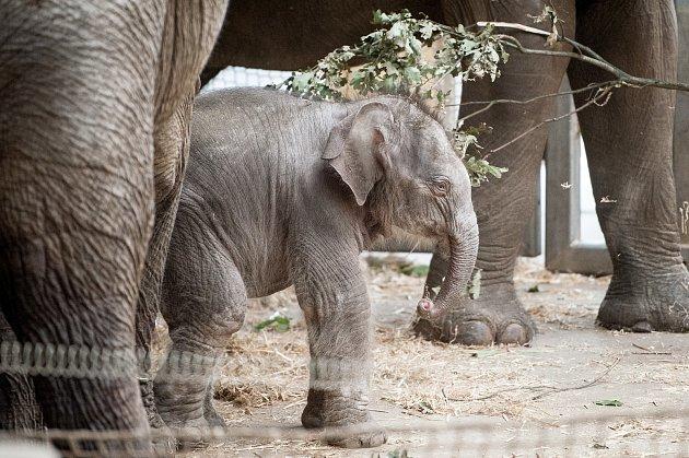 Mládě slona indického, které se narodilo  8.července 2017vZoo Ostrava. Ilustrační foto.
