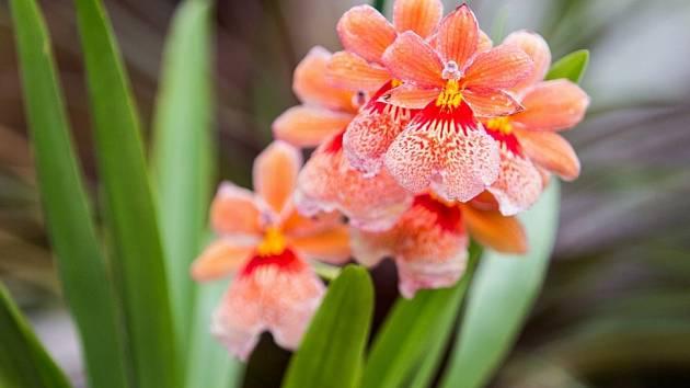 Orchidej.