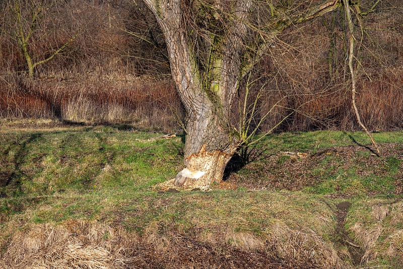 Stromy na břehu řeky Odry, které okusuje bobr, leden 2020 v Ostravě.