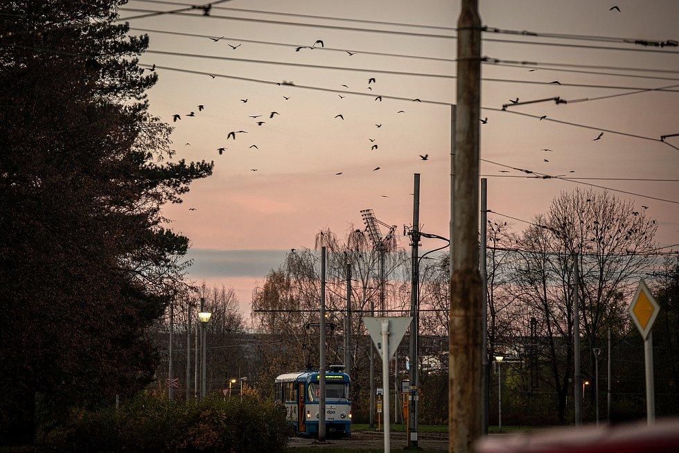 Havrani poblíž Vítkovického nádraží v Ostravě, listopad 2020.