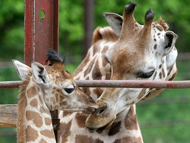 Žirafí mládě začíná pomalu objevovat svět.