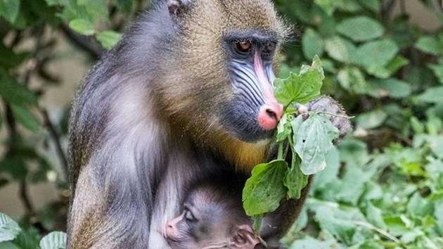 Skupina mandrilů v ostravské zoologické zahradě se úspěšně rozrůstá.