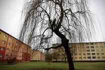 Skoro padesát let stará vrba ve dvoře bytového družstva v Ostravě-Hrabůvce se dočkala odborného ošetření.