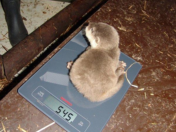 Vydry vostravské zoo se dočkaly prvního mláděte.