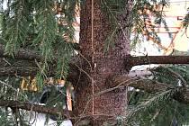 Prasklinu asi půldruhého metru na délku a půldruhého centimetru na šířku objevili na kmeni vánočního stromu na přívozském Náměstí Sv. Čecha.