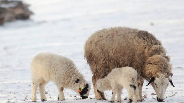 Zoo Ostrava hlásí první letošní přírůstky. Jsou jimi tři jehňata ovcí mongolských.