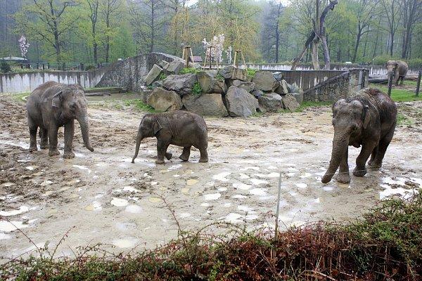 """Slonice Vishesh vostravské zoologické zahradě je přesně vpolovině březosti. Do samotného porodu jí zbývá ještě dlouhých jedenáct měsíců sloní """"těhotenství"""" totiž trvá až dva roky."""