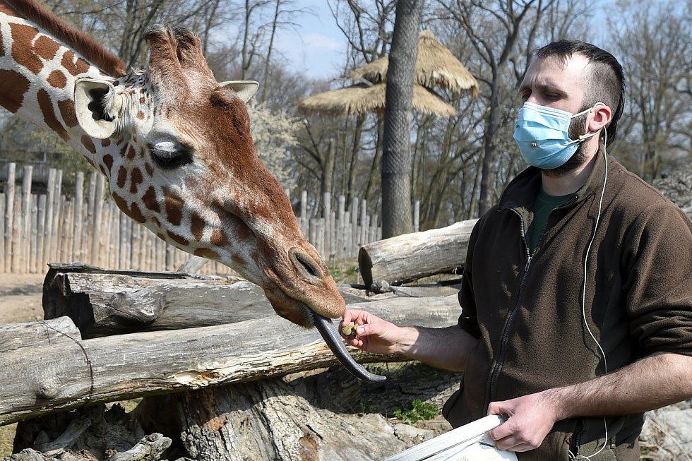 Žirafy v českých Zoo. Ilustrační foto.