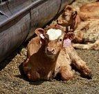 Chov krav. Ilustrační foto.