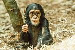Šimpanz v Zoo Ostrava.