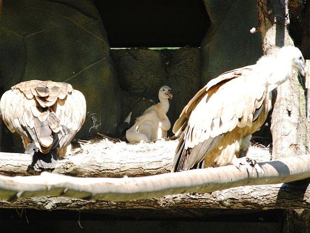 V ostravské zoo se podařilo odchovat také supa bělohlavého.