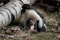 Sedmé mládě kočkodana Dianina v Pavilonu evoluce v Ostravské ZOO.