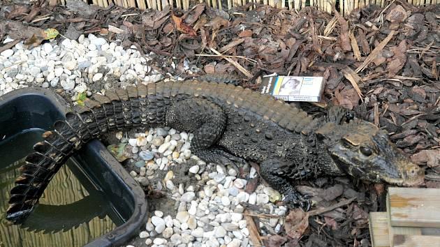 Krokodýl Mireček z Ostravy - krabička cigaret je pro porovnání velikosti.