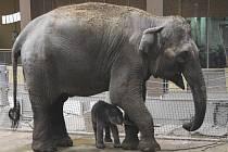 Dosud nadějně probíhající odchov prvního sloního mláděte se komplikuje.