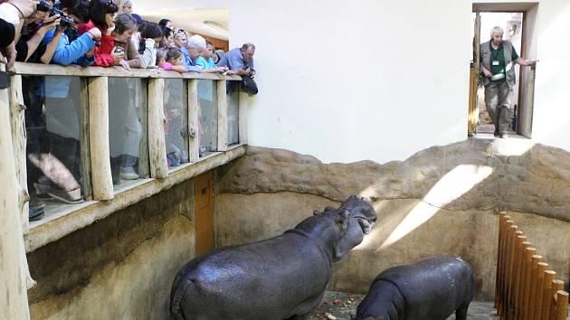 Hroši v ostravské zoo. Ilustrační foto.