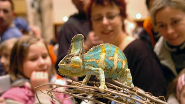 Na teraristických burzách budí zaslouženou pozornost chameleoni
