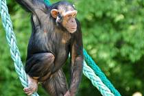 Šimpanz z ostravské zoo