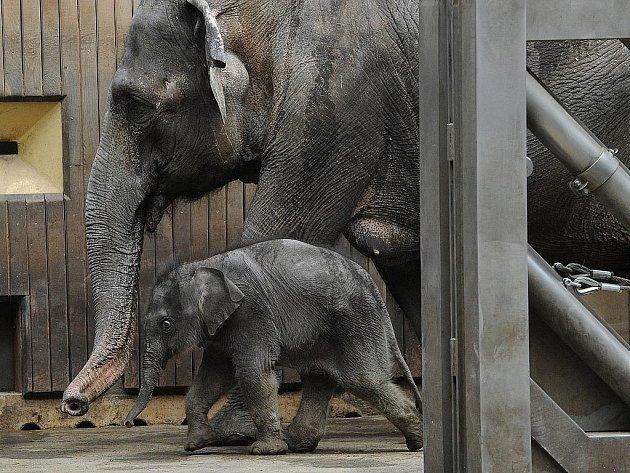 Slonice Johti a její mládě