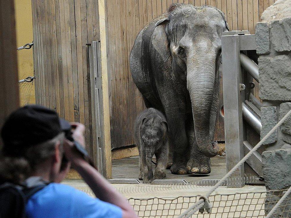 """Slonice Johti a její měsíc staré mládě měly v úterý opět možnost jít ven do venkovního výběhu. Pořád jsou ale hodně opatrné a jistěji se cítí uvnitř pavilonu. """"Dnes jen vykoukly ze dveří a ven nevyšly,"""" uvedla mluvčí ostravské zoo Šárka Kalousková."""