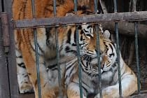 Tygří bratři Eda a Elton opustí v lednu ostravskou zoologickou zahradu. Jejich novými domovy se stanou  litevská Zoo Kaunas a Woburn Safari Park v Anglii.