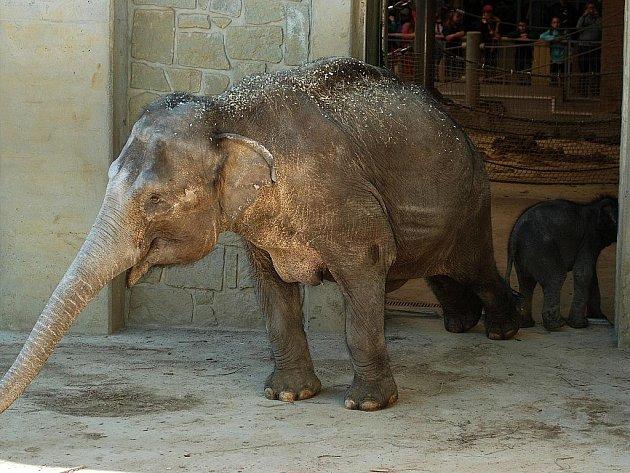 Sloni poprvé venku.