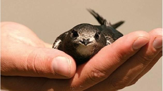Rorýs patří k ohroženým ptačím druhům.