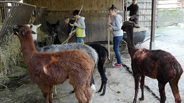 """Děti na """"zoologickém"""" táboře se staraly také o zvířata, ovšem jen o ta bezpečná lamy, kozy, poníky, ovce."""
