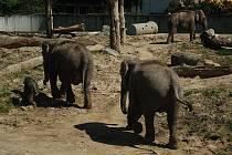 Měsíční samička poprvé na sluníčku. Na snímku ve výběhu společně s ostatními slonicemi.