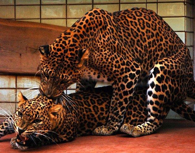 Levhartí pár v ostravské zoo