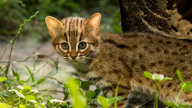 Mládě kočky cejlonské
