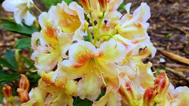 Rhododendron x hybridum Bernstein.