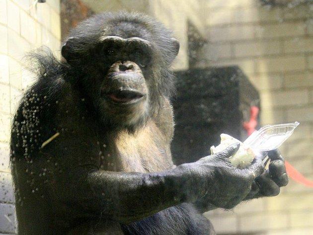 Narozeniny členů ostravské skupiny šimpanzů se neobešly bez ovocného dortu.