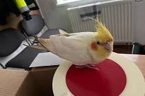 Papoušek se zřejmě přiletěl na služebnu ohřát a strážníkům hezky zazpíval.
