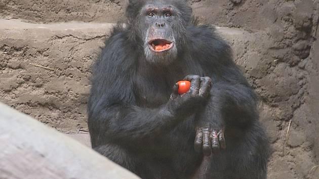 Dvacetiletý šimpanz Vincent z francouzské zoo.