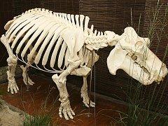 V Česku unikátní kostru hrocha v životní velikosti odhalili ve středu v ostravské zoo. Model tvoří z velké části kostra hrošice Rózy. Ta přišla do Ostravy v roce 1967 a porodila tu vůbec první mládě hrocha v tehdejším Československu.