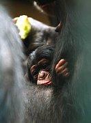 Nedávno narozené šimpanzí mládě v ostravské zoo