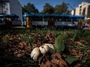 Žampiony, které se tento týden objevily u Nádražní ulice v centru Ostravy, k jídlu nejsou.