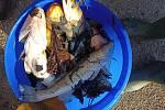 Uhynulé ryby z Výškovických tůní. Snímek od čtenáře ze sociální sítě Facebook.