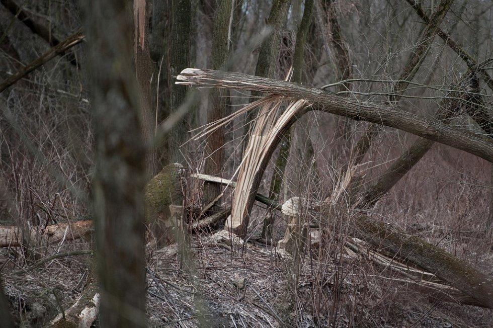 Stopy činnosti bobra u řeky Lučiny.
