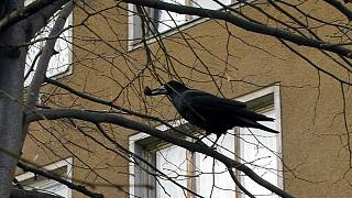 Proč jsou černé ptáky tak velké